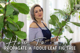 Know Your Roots | How to Propagate a Fiddle Leaf Fig Tree